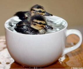 ducklings in cup