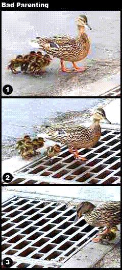 baby ducks fall in sewer
