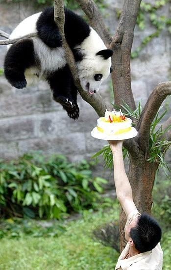 panda bear tries to get birthday cake