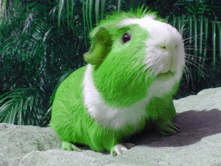 green guinea pig - St Patricks Day graphics for Facebook