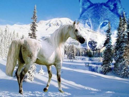 white horse in the snow wolf
