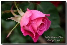 Gather the rose of love